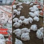 More Than 43,000 Poultry Chickens Died in Maravilla, Nagcarlan, Laguna
